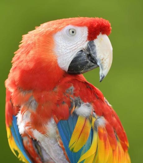 Papegaai die drugsdealers waarschuwt opgepakt door politie