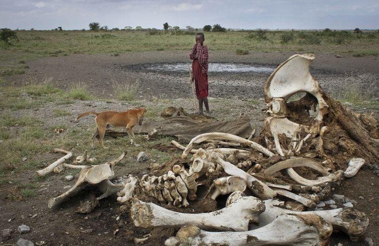 Een Masai-jongen staat naast het karkas van een olifant die door stropers is gedood Beeld ap