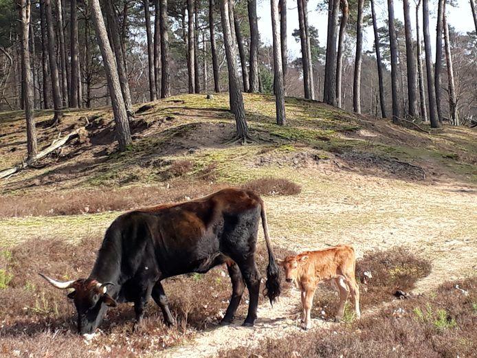 Een tauros met kalfje in Herperduin, gefotografeerd door een bezoeker van het natuurgebied.