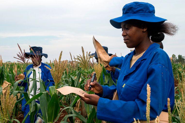 Plantenveredelaars in een maisveld in Zimbabwe, hier in 2016. Neerslagtekort en hoge temperaturen bedreigen de oogst in zuidelijk Afrika. Beeld Hollandse Hoogte/AFP
