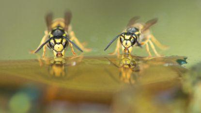 Dubbel zoveel mensen naar spoed met wespensteek