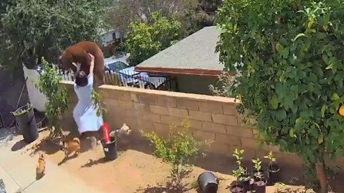 Vrouw duwt een beer van de muur in haar tuin.