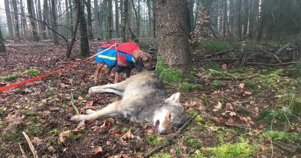 Jong wolfje aangereden, boswachter vindt het gewonde dier dood bij een boom.