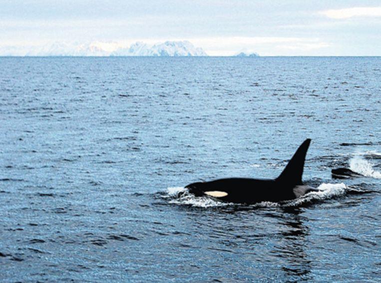Orka met jong in de Westfjord. Foto Windy Kester Beeld