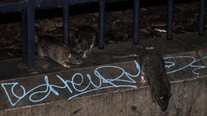 VIDEO: Parijs kampt met serieuze rattenplaag