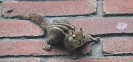Minder speciaal: Osse eekhoorn is volgens kenners een ontsnapte 'Chinees', geen Siberische grondeekhoorn