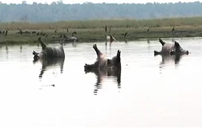 De dode nijlpaarden drijven in het water van het Bwabwata National Park.