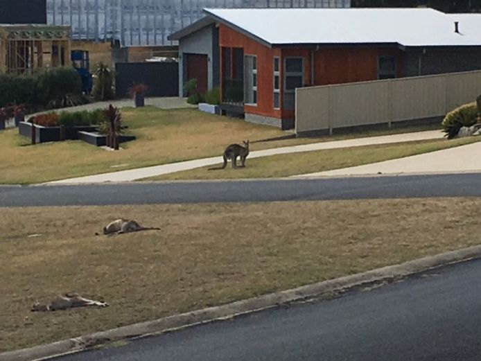 Door een schijnwerper op de pick-up schrokken de kangoeroes, waardoor ze er maar wat stonden te staren.