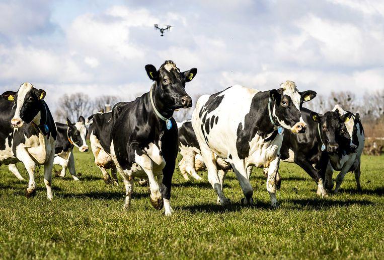 Nederland telt zo'n 1,6 miljoen melkkoeien. Slechts vijf landen in de Europese Unie hebben meer melkvee. Beeld ANP