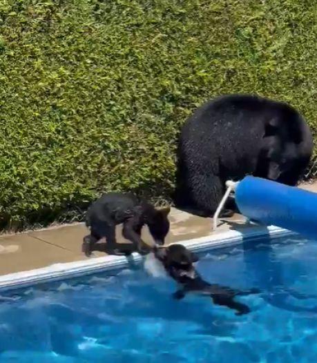 Des oursons se rafraîchissent dans une piscine au Canada