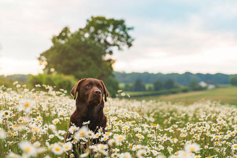 Labrador Beeld Getty Images