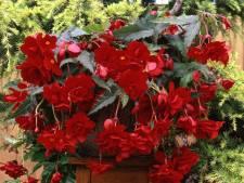Deze plant kun je overal neerzetten en hij bloeit in vrolijke tinten
