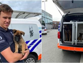 Puppy Yax wordt nieuwe speurhond van Aalsterse politie