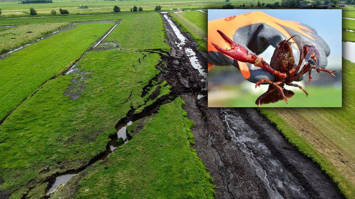 Is de Amerikaanse rivierkreeft de veroorzaker van de dijkdoorbraak in Reeuwijk?