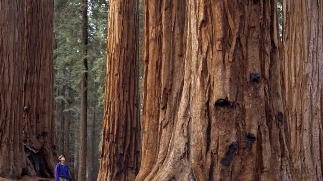 Gekloonde bomen oplossing voor global warming?