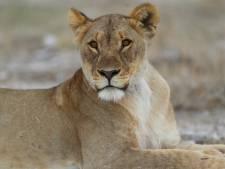 Leeuwin adopteert springbokje nadat haar welpen werden doodgebeten