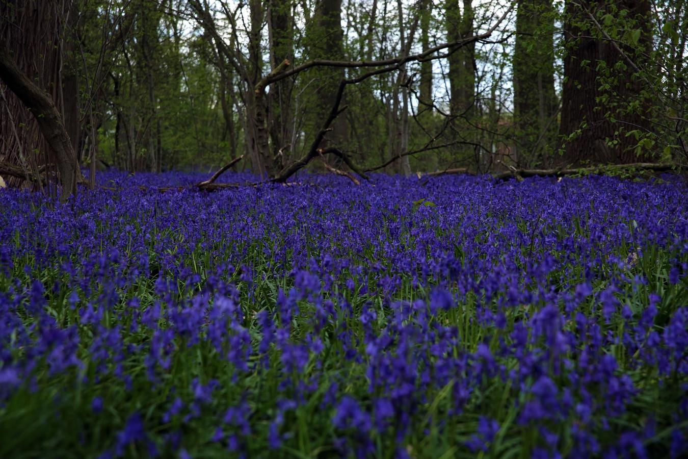 In Tiegembos worden de hyacinten afgeschermd van de bezoekers waardoor het bloementapijt elk jaar groter wordt.