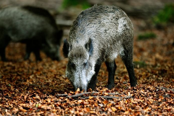Een wildzwijn ziet niet goed, dus maak geluid als het dreigt je aan te vallen.
