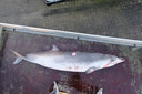 In Oostende strandde een spitssnuitdolfijn.