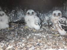 Drukte in nest op De Kroon: drie jonge slechtvalken