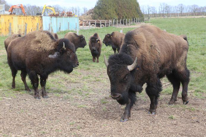 De bizons in Willebringen.