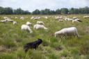 Herdershond Jan houdt de kudde in de gaten.