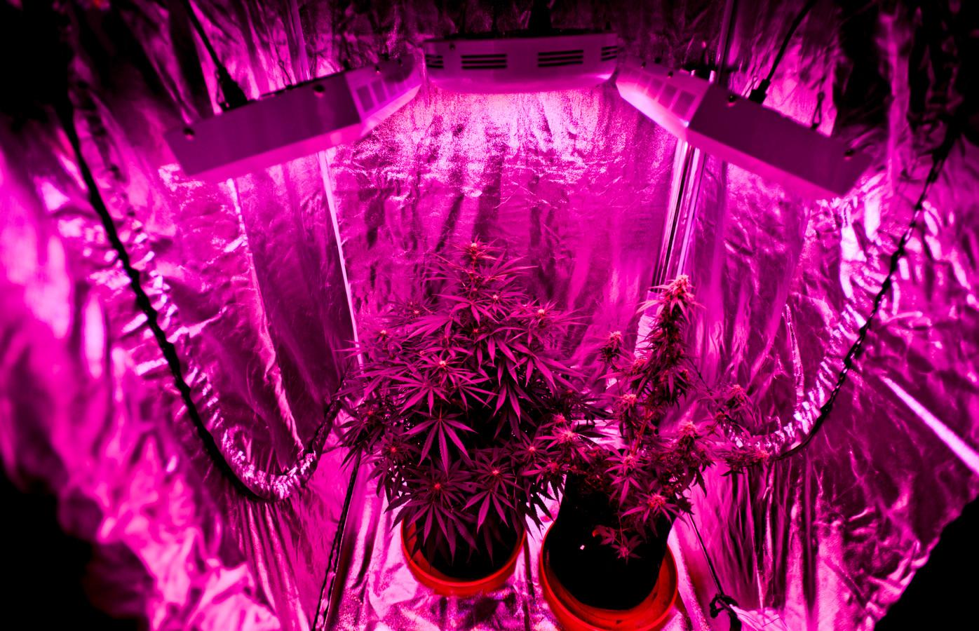 Illustratiebeeld: cannabisplanten in een kweektent