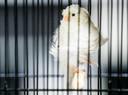 Mogen vogels straks niet meer in kooitjes worden gehouden?