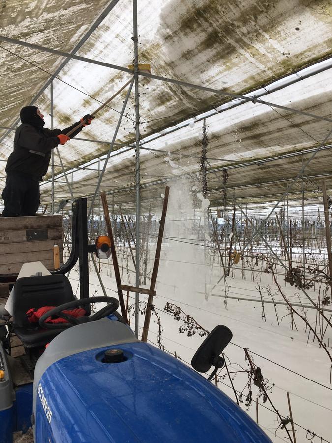 In de kassen van Barton Arnts in Ooij moest dagenlang sneeuw van het dak geduwd worden.