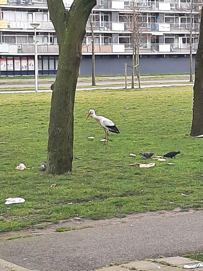 Lunchtime voor ooievaar in Alphense flatwijk