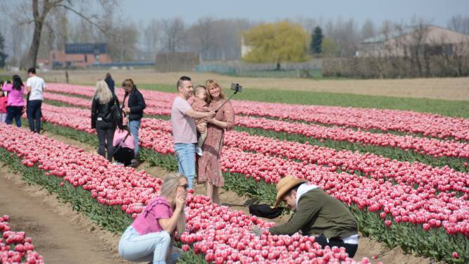 """Tulpenboeren zijn toeristen beu: """"Bloemen worden afgetrokken of vertrappeld. De schade loopt al in de duizenden euro's"""""""