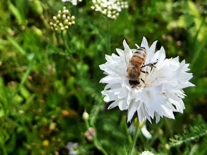 Een honingbij op een witte korenbloem midden op de rotonde aan de Vossendaal/Roosendaalseweg in Etten-Leur