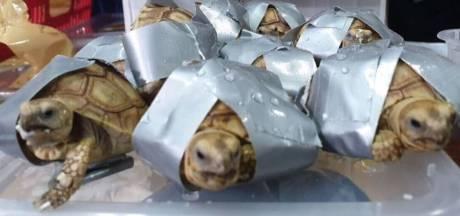 Douane op vliegveld Manilla vindt 1500 schildpadden in bagage smokkelaar