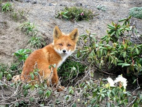 PvdD Flevoland richt pijlen op GS om vossenjacht