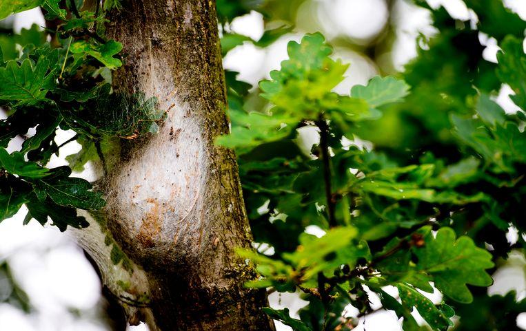 Een rupsennest in een eikenboom. Beeld ANP