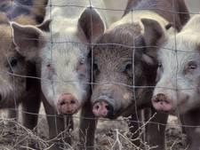 Nog geen milieuvergunning voor Boekelse varkensboer Coppens