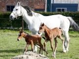 Bijzonder: paardentweeling geboren in Zeeland