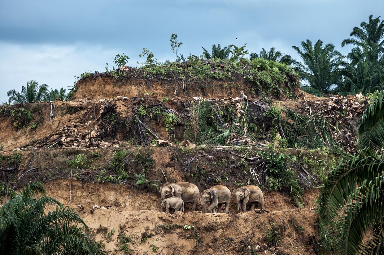 Olifanten banen zich een weg door een (gekapte) palmolieplantage in Maleisië.