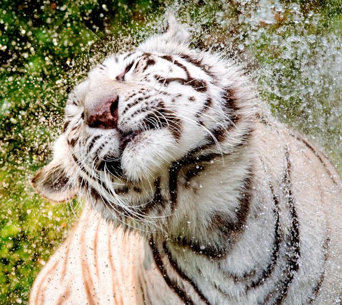 Een witte tijger wordt ter verkoeling nat gespoten in het Ouwehands Dierenpark in Rhenen. Foto ter illustratie.