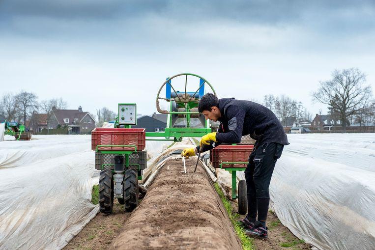 Roemeense seizoensarbeiders steken asperges in Brabant. Beeld Hollandse Hoogte / Paulien van de Loo