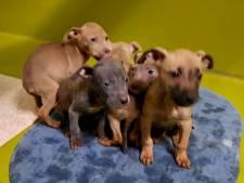 Deze magere puppy's renden door hun eigen uitwerpselen in een huis in Dronten
