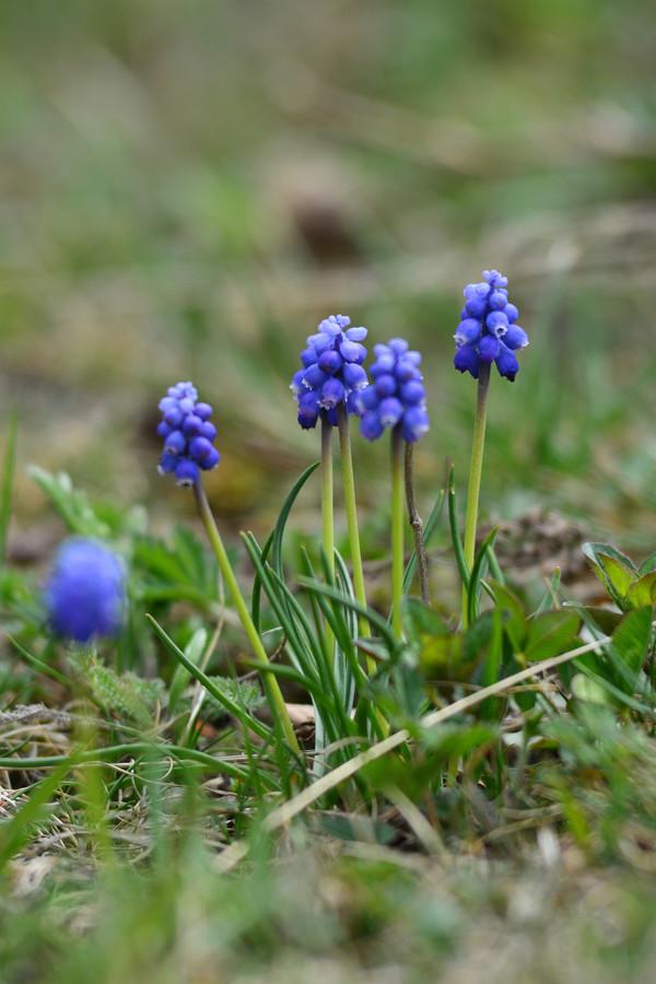 'Blue Spike': gevuldbloemig 'Cantab': helderblauw.