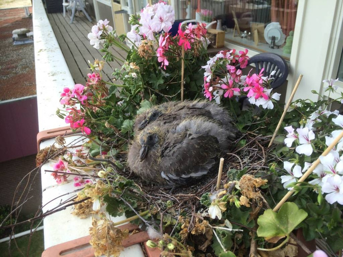 Het duivennest in de bloemenbak, op het balkon van mevrouw Van Hecke.