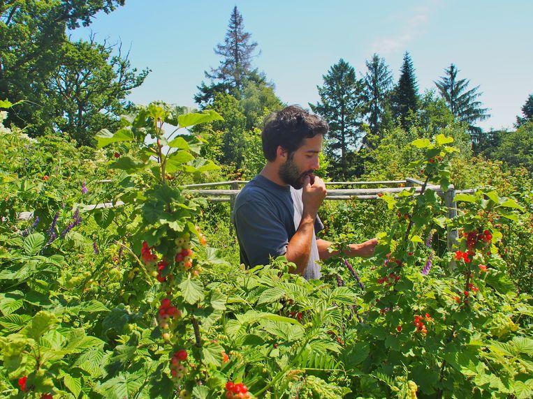 De tuinman proeft de vruchten uit de gemeenschappelijke moestuin.  Beeld Imco Lanting