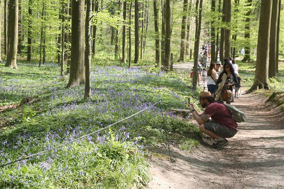 Met duizenden trokken dagjestoeristen dit paasweekend naar de paarse bloementapijten in het Hallerbos.