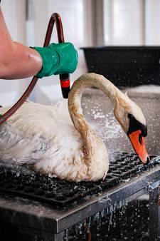 Vrijwilligers maakten oliezwanen op eigen risico schoon