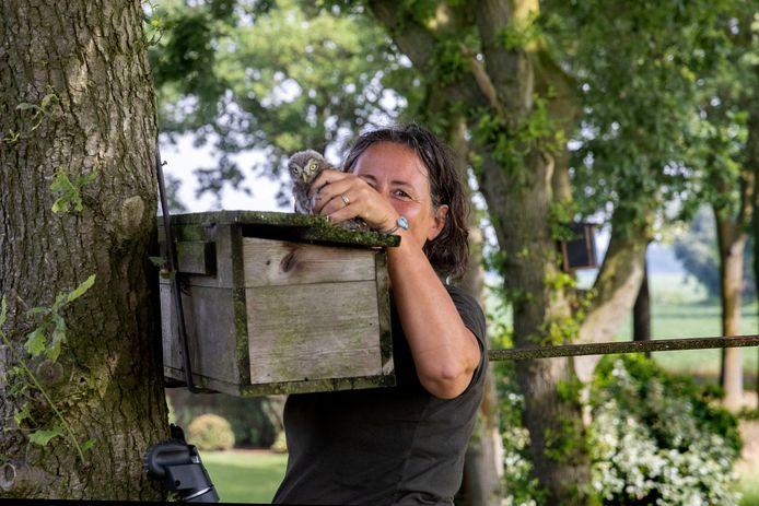 Vrijwilliger Lonneke van Soest van de uilenwerkgroep inspecteert een uilenkast in het buitengebied van Son en Breugel.