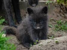 Baby-vosjes en andere jonge dieren geboren bij Faunapark Flakkee, maar eigenaar heeft geldzorgen