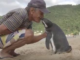 Deze pinguïn zwemt elk jaar 8.000 km om man terug te zien die zijn leven redde