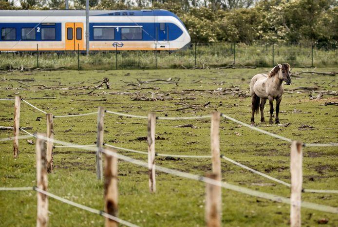 Een konikpaard in de vangkraal in de Oostvaardersplassen.